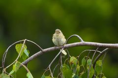 European greenfinch sitting puffed up on the branch of a birch a royalty free stock image