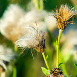 Fluffy Faded Thistle Stock Images