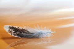 Fluffy feather on blurred abstract background. Macro view colorful bird plumage pattern and texture. Romantic tender. Artistic still life photo. Shallow depth Royalty Free Stock Photo