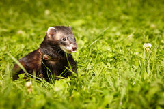 Fluffy ferret relaxing in summer day in grass Royalty Free Stock Photos