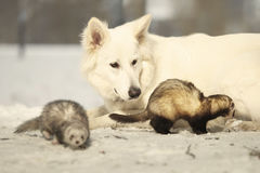 Fluffy ferrets enjoying winter time in park with white shepherd. Ferrets on leash posing and enjoying winter time in park with white shepherd royalty free stock photography