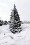 Fluffy fir, Christmas tree stands in the snow. Royalty Free Stock Images