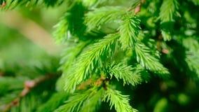 Fluffy fir-needles, sunny day