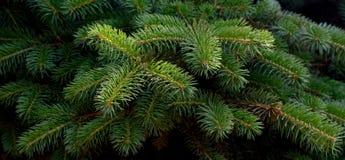 Fluffy fir tree brunch close up. Stock Photo