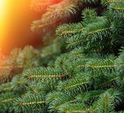 Fluffy fir tree brunch close up. Royalty Free Stock Images