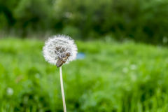 Fluffy flower dandelion with insects amid greenery Royalty Free Stock Images