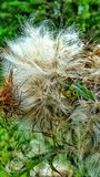 Fluffy flower. Wild macro close up plants garden outdoor nature dried seeding thistle soft warm summer mississippi Royalty Free Stock Images