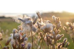 Fluffy flowers in the meadow. Beatuful fluffy flowers in the meadow lilluminated with sun from behind. Photo gives feeling of happiness Royalty Free Stock Photo