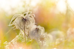 Fluffy flowers - seeds Royalty Free Stock Photography