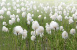 Fluffy flowers Royalty Free Stock Image