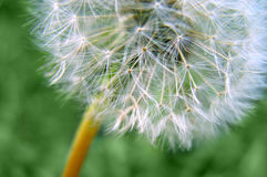 Fluffy fragile dandelion Stock Photos
