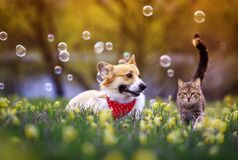 Free Fluffy Friends A Corgi Dog And A Tabby Cat Sit Together In A Sunny Spring Meadow Royalty Free Stock Photography - 215446627