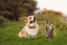 Fluffy friends funny cat and a corgi dog walks in a summer meadow on the green grass and catches a flying butterfly
