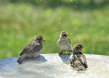 Fluffy Fun Bath. Three cute and fluffy juvenile, young or baby House Sparrows playing in a birdbath and splashing water Royalty Free Stock Photography