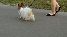 Fluffy dog on a walk stock video footage