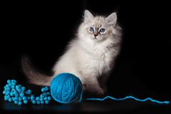 Fluffy funny kitten Nevskaya Masquerade , playing with a ball of woolen threads on a black background. stock photography