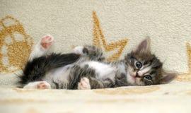 Fluffy funny Siberian kitten royalty free stock photo