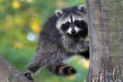 Portrait of Raccoon Climbing Large Tree. Fluffy and furry raccoon stepping dexterously from one large tree trunk to another, but appearing to be suspended in Stock Photo