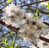 Fluffy fuzzy blossoms Stock Images
