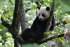 Fluffy Giant Panda  in China. A Cute, lovely Giant Panda Relaxing on the Tree Stock Photography