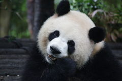 Fluffy Giant Panda  in China. A Cute Giant Panda Sends a Sweet Smile to Tourists Stock Image