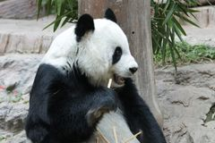 Female Giant Panda in Chiangmai, Thailand. Fluffy Giant Panda is Eating Bamboo Stick Royalty Free Stock Photography