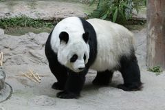 Female Giant Panda in Chiangmai, Thailand. Fluffy Giant Panda is Eating Bamboo Stick Royalty Free Stock Image