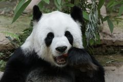 Female Giant Panda in Chiangmai, Thailand. Fluffy Giant Panda is Eating a Red Apple Royalty Free Stock Photography