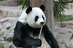 Female Giant Panda in Chiangmai, Thailand. Fluffy Giant Panda is smiling to the tourists Stock Images