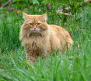 Fluffy ginger cat royalty free stock photography