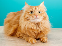 Fluffy ginger cat  against  blue wall Stock Images