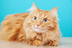 Fluffy ginger cat  against  blue wall Royalty Free Stock Image