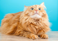 Fluffy ginger cat  against  blue wall Stock Photography