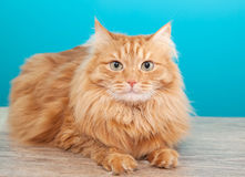 Fluffy ginger cat  against  blue wall Royalty Free Stock Photo