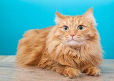Fluffy ginger cat  against  blue wall Stock Image