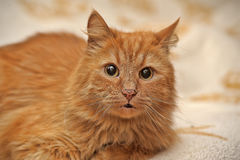 Fluffy ginger cat Stock Photography