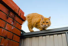 Fluffy ginger cat Stock Photos