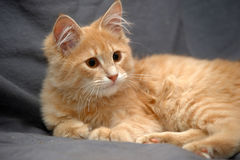 Fluffy ginger cat on a gray background Stock Photos
