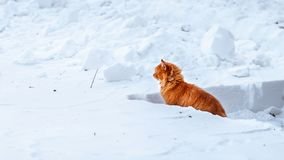 Big fluffy ginger cat sitting in the snow, stray animals in winter, homeless frozen cat. Fluffy ginger cat sitting in the deep snow, cat closely watching the Royalty Free Stock Photos