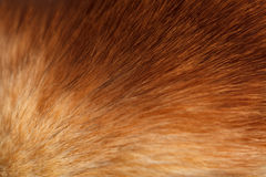 Fluffy ginger fur texture or background, selective focus Royalty Free Stock Images