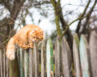 Fluffy ginger tabby cat walking on old wooden. Beautiful cat walking on fence in autumn Royalty Free Stock Image