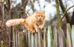 Fluffy ginger tabby cat walking on old wooden. Beautiful cat walking on fence in autumn Royalty Free Stock Photos