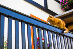 Fluffy ginger tabby cat walking on old wooden fence Royalty Free Stock Photo