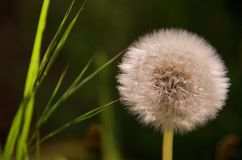 Fluffy globe of a dandelion seed head contrasts in shape with blades of green grass Stock Images