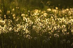Beautiful fluffy dandelions in the sunset light. Fluffy golden dandelions in the evening light in the countryside Royalty Free Stock Photography