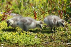 Fluffy goslings Royalty Free Stock Photography