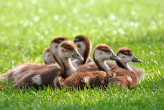 Fluffy goslings enjoying the sunshine. A group of young Canada Geese sitting together on fresh sunlit grass stock photo