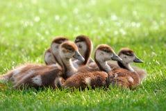 Fluffy goslings enjoying the sunshine Stock Photo