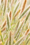 Fluffy grass Stock Photography