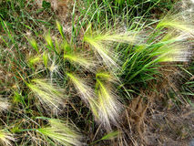 Fluffy grass. Dew on the grass. Royalty Free Stock Photos